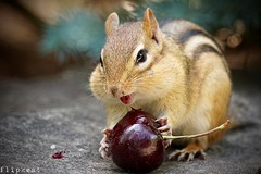 Cherry Oh Baby (flipkeat) Tags: nature wildlife animal animals chipmunk squirrel funny closeup lipstick port credit awesome cute adorable lovers a77ii national day sony