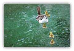 le bonheur est... à l'eau ! (Save planet Earth !) Tags: suisse genève oiseaux birds amcc nikon ions