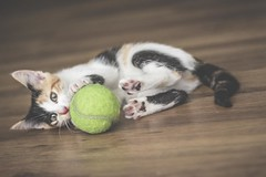 IMG_4039 (pungpungfish) Tags: canon 50mm photography portrait animalphotography portait kitten calico calicocat animal pet cat