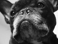 08-06-18 (3207) Smug (Lainey1) Tags: bw monochrome 3207 3207oz 365 theninthyear mugshot smugmug closeup head nose eyes mug oz ozzy dog ozymandias lainey1 bulldog frenchbulldog zendog frogdog ozzythefrenchie frenchie olympus olympusxz1