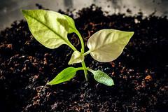 P3 Henning, Day 51 (Melissa Maples) Tags: antalya turkey türkiye asia 土耳其 apple iphone iphonex cameraphone spring thepepperproject pepper seedling dirt soil sprout plant