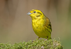 DSC4071  Yellowhammer.. (jefflack Wildlife&Nature) Tags: yellowhammer birds avian animal animals wildlife wildbirds woodlands wildlifephotography jefflackphotography farmland heathland hedgerows heathlands heaths songbirds finch finches countryside nature