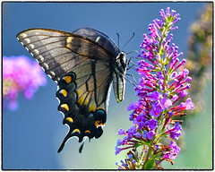 Tiger Swallowtail (melanistic form). View Large (EXPLORE, Aug 11 2018, #29) (RKop) Tags: butterflies californiawoodspark raphaelkopanphotography d500 nikkor200f4macro