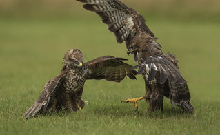Buzzard Chick with parent (both wild) - ''this is a claw''