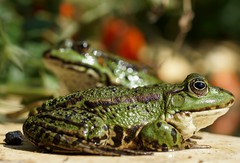 Frosch  / frog (2) (Ellenore56) Tags: 12082018 frosch frösche frog frogs lurch wasserfrosch grünfrosch teichfrosch pelophylax rana amphibian amphibie amphibien wasser water tier animal tiere animals lebewesen creature froggi fauna tierwelt pelophylaxesculentus natur nature emotion detail moment augenblick sichtweise perception perspektive perspective reflektion reflection reflexion farbe color colour licht light inspiration imagination faszination magic magical sonyslta77 ellenore56 sonntag sunday sun sonne