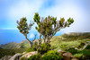 Gnarly tree (Rico the noob) Tags: 2018 bokeh d850 landscape nature outlook outdoor hills 2470mmf28 clouds ocean tree published grass water sky dof teneriffa tenerife 2470mm sea
