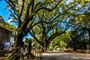 Sacred trees (Hiro_A) Tags: shrine saijo ehime shikoku japan sony rx100m3 sacredtree tree isonoshrine