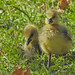 First goslings of greylag goose