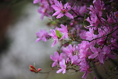 Azalea / Rhododendron / 躑躅(つつじ) (TANAKA Juuyoh (田中十洋)) Tags: azalea rhododendron 躑躅 つつじ ツツジ 5d markii hi high res hires resolution 高精細 高画質 tochigi kanuma awano shiroyama kouen park 栃木 鹿沼 とちぎ かぬま 粟野城山公園 あわのしろやまこうえん