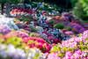 azalea - つつじ (turntable00000) Tags: bokeh tiltshift azalea flower spring nezu shrine tokyo japan