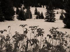 Belledonne, 2017 (Olivier BERTRAND) Tags: belledonne blackandwhite blackandwhitephotography digitalphotography neige forest forêt hiver isère landscape lumix25mm lumix monochrome micro43 noiretblanc nature naturallight olivierbertrand olympusem5markii olympus paysage panasoniclumix25mm winter woods snow 25mm primelens photography landscapephotography