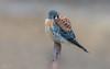 American Kestrel (salmoteb@rogers.com) Tags: bird wild outdoor nature wildlife american kestrel canada ontario prey perch
