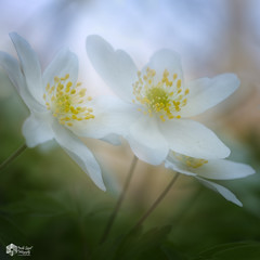 Meervoudige belichting! (nsiepelbakker) Tags: bosanemoontjes macro omdem1markii zuiko60mmf28 doubleexposure spring flowers