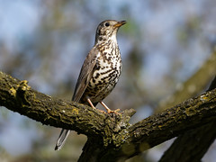 Mistle thrush (Happy snappy nature) Tags: mistlethrush bird avian perched branch closeup nature wildlife beautiful plumage feathers shropshire outdoors sunnyday nikon200500 nikond500