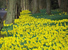 Daffodils (eric robb niven) Tags: ericrobbniven dundee scotland daffodils landscape flowers spring springwatch
