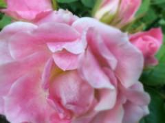 Pink (ᑭOETIᑕ outlook) Tags: flickr annej bloom flora nature flower macro pink pinkrose rose