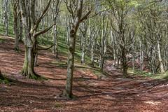 A path in the woods (Leonardo Del Prete) Tags: woods bosco beechtrees faggi montecucco sentiero path alberi trees parco park ombre shadows valdiranco