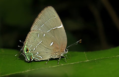 Janthecla unknown (Camerar 4 million views!) Tags: butterfly jantheclaleeaorsista lycaenidae peru butterflies insect
