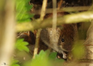 mouse or vole  (2)