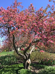 Sherwood Gardens ~ Crabapple beauty (karma (Karen)) Tags: baltimore maryland sherwoodgardens parks gardens trees blossoms crabapple shadows iphone cmwd