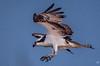 Landing (jgaosb) Tags: sunken state park osprey