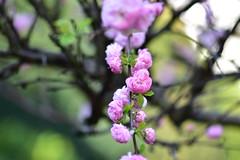 Sweet temptation /// zarte Versuchung (Pixelchen1) Tags: nikon5500 nikon105mmf28 mandel almond tree baum blüte bokeh garden garten
