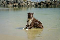 Kyra (mcvmjr1971) Tags: trilhandocomdidi 2018 50mmf18d d7000 itaipu praiadeitaipu beach bolinha bordercollie brincando cachorras cachorro correndo dog lagoa mmoraes nikon niterói