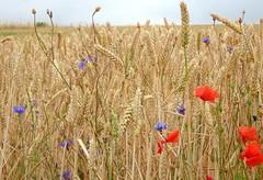 Field of Wheat (Jaedde & Sis) Tags: wheat field wild flowers harvest summer bornholm challengefactorywinner thechallengefactory pregamewinner beginnerdigitalphotographychallengewinner bdpc