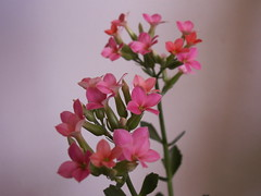 from none, to one, to many (SheilaMink) Tags: flowers stems buds leaves pink red green white gray shadows inourhouse kalanchoe blurry focus afternoon newmexico southwest sooc nopostprocessing
