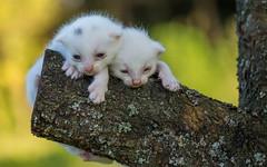 kittens II (01) - white (Vlado Ferenčić) Tags: kittens kitty catsdogs vladoferencic animals animalplanet cats zagorje hrvatskozagorje hrvatska croatia nikond600 tamron9028