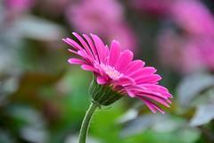 Gerbera (moniquerebanks) Tags: gerbera closeup petals fleur bloem fiori garden garten tuin outdoors nikond7100 uk cumbria nature natureatitsbest bloom
