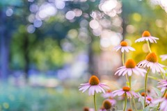 Subtle Colors And Shades (icemanphotos) Tags: summer flowers meadow sunset bokeh blurry mood calmness canon