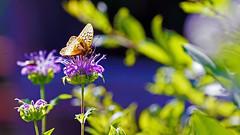 Wild Bergamot (Monarda fistulosa), Hartley Nature Center - Duluth MN USA, 07/29/18 (TonyM1956) Tags: elements sonyalphadslr macrounlimited tonymitchell beebalm wildbergamot monardafistulosa hartleynaturecenter duluth sonyphotographing