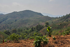 LURAS Wild Tea Sector Survey, March 2017 (jfoppes) Tags: olympus omdem5 25mmf18 laos tea wild green puer farmers producers oudomxay phongsaly business sector services