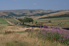 Highgate Head, Peak District National Park, Hayfield, Derbyshire, England. (westport 1946) Tags: england unitedkingdom peakdistrict highpeak derbyshire hayfield nationalpark lanternpike horizon ridge bluesky sky hillside hill hills foothill grasslands grass grassland fields field farmland farm farmanimals cows cattle stonewalls forest woods trees tree hikerspath bridlepath wildflowers flowers purpleflowers cownedge landscape outdoor countryside rural pastoral peaceful idyllic serene tranquil highgatehead twentytrees