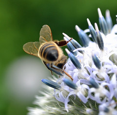 honey bee on Echinops (conall..) Tags: echinops globe thistle globethistle botanic park belfast southbelfast flower flowerhead honeybee honey bee apis mellifera pollination