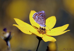 Hauhechelbläuling (Polyommatus icarus)_58 (Max G. Paul) Tags: blüten blossoms makro macro pflanzen plants blumen flowers sommer summer frühling spring schmetterling butterfly insekt insect