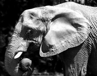 024693763602-102-African Elephant-2-Black and White