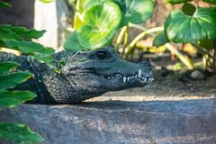 Crocodile (benakersphoto) Tags: crocodile reptile animal wildlife zoo zoophotography sandiego sandiegocalifornia california