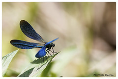 09062018 EOS-1D X - 056a Caloptéryx1 (ChristDup) Tags: libellule dragonfly insecte animal macro bokeh canon canoneos1dx canonef300mmf28lisusm