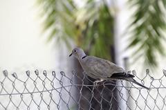 Saltar la alambrada... un sueño (MarianDiazRAM) Tags: 2018 nikond5100 verano valencia tórtolaturca aves pajarosdeciudad urbanbird parques