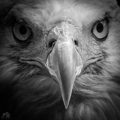 Pygargue à tête blanche de Sciez (Fabien Legagneur) Tags: 2018 aigle bird eagle hautesavoie portrait pygargue rapace noiretblanc nb nature oiseau fabienlegagneur lumixtz100 lumix panasonic sciez baldeagle pygargueàtêteblanche plumes animal jura