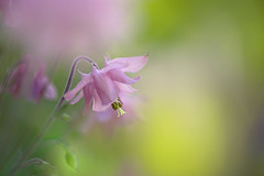 Pink Columbine (lfeng1014) Tags: pinkcolumbine macro macrophotography flower flowermacro canon5dmarkiii ef100mmf28lmacroisusm depthoffield dof closeup bokeh light