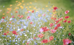 PainfulColorfulBeautiful? (dapalmerpeter (slow & low)) Tags: dapalmerpeter poppy summer flower meadow minolta rokkor 12