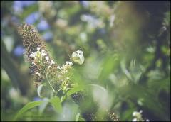 Colorful Summer (Atrista ) Tags: a7rm3 background blumenundblüten bokeh butterfly colorful flowers hintergrund ilce7rm3 natur pflanzen plants schmetterling sommer sony sonya7rm3 sonyalpha7rm3 sonyfe90mmf28macrogoss summer unscharf unschärfe farbenfroh