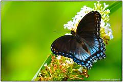 Blue Admiral (RKop) Tags: butterflies californiawoodspark raphaelkopanphotography d500 nikkor200f4macro wildlife