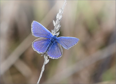 Delicate Little Common Blue (jo92photos) Tags: butterfly commonblue insect tiny small wild countryside rural polyommatusicarus