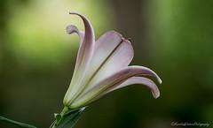 Beauty (Kerstin Winters Photography) Tags: bokeh newmexico details blumen nikkor nikon nikondigital nikondsl macro closeup lilie lily flowers