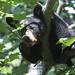Yummy! (Seventh day photography.ca) Tags: blackbear bear cub young animal mammal nature wildanimal wildlife predator ontario canada seventhdayphotography chrismacdonald summer