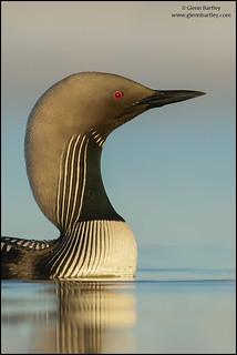 Pacific Loon (Gavia pacifica)
